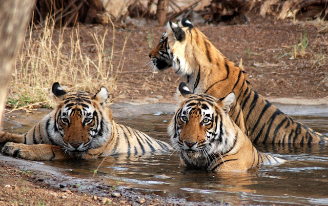 Tigers at Corbett National Park