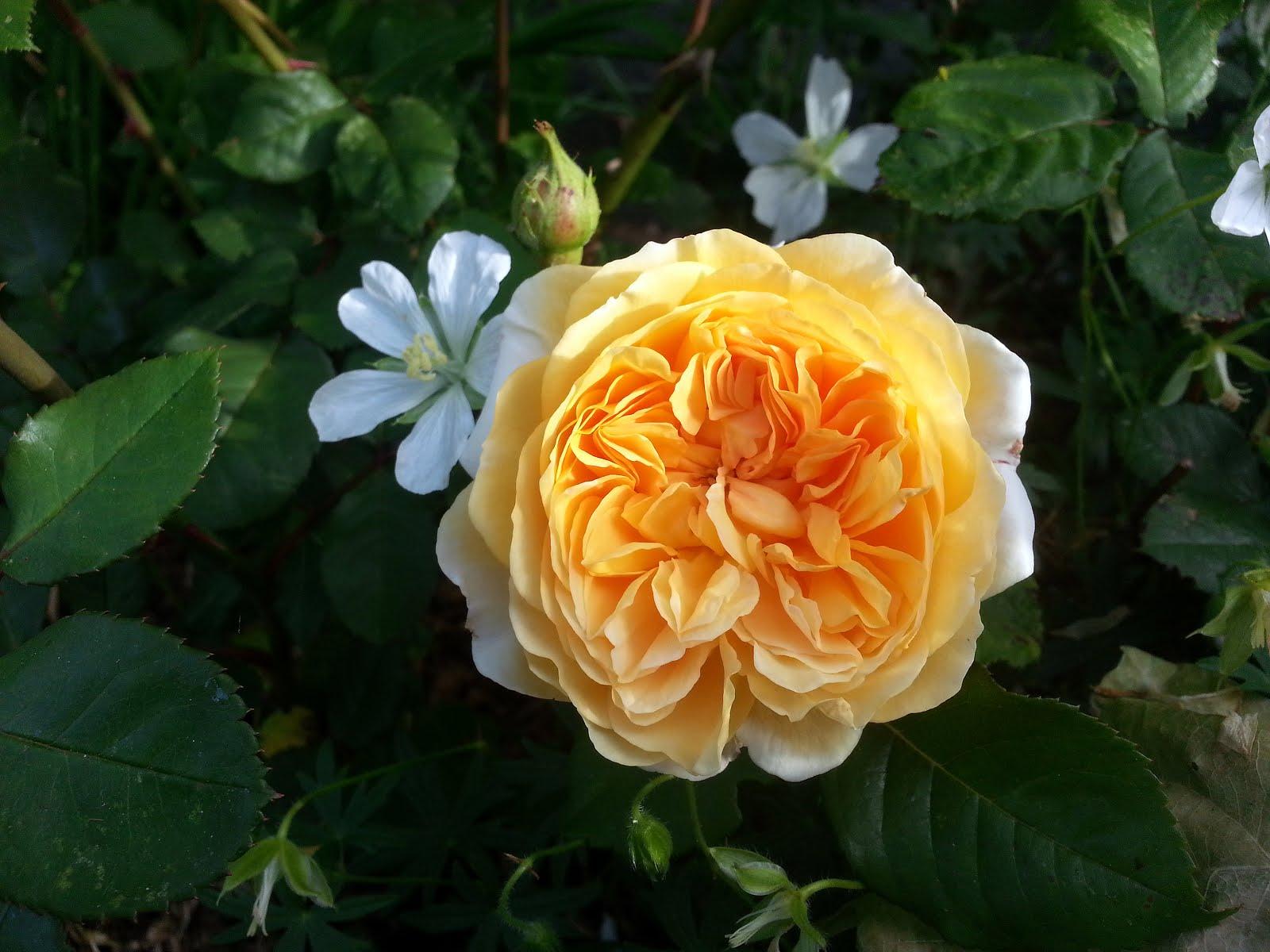 Några av mina rosor