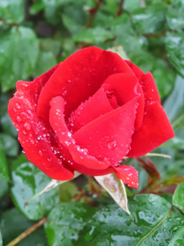 Perfect red rose with raindrops on petals