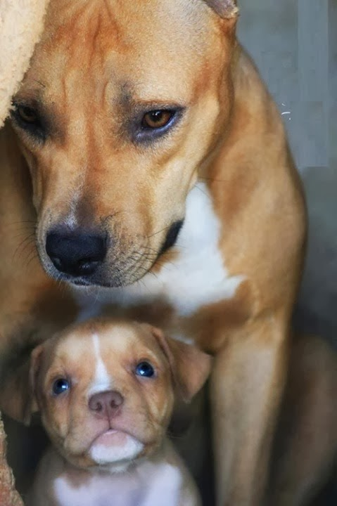 Images for pitbull dog, What is a Pit Bull?, pitbull puppies with mother