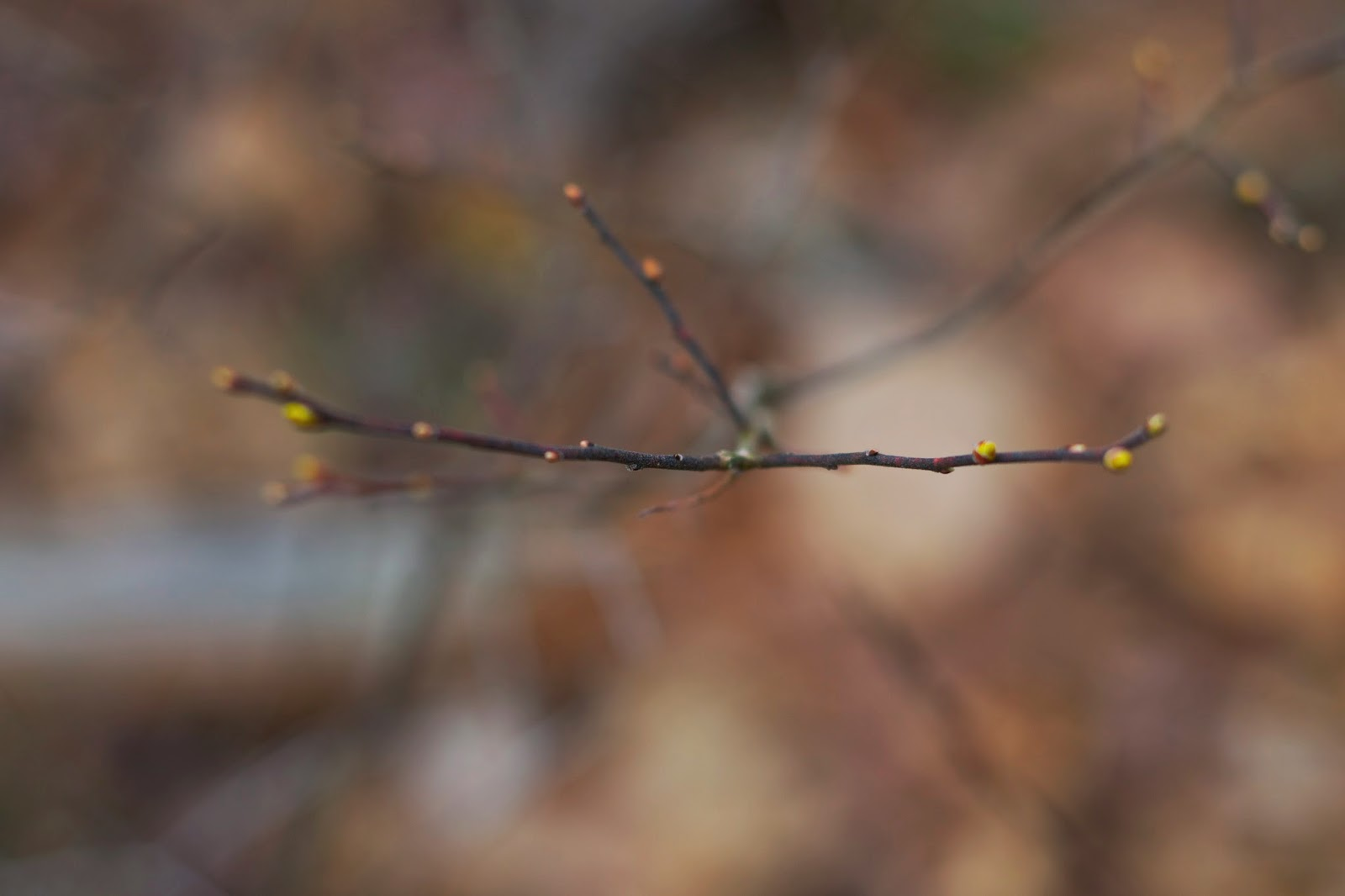Close up of little buds on a delicate branch.