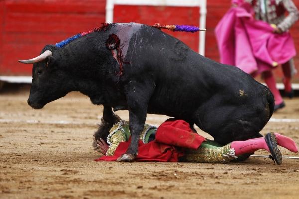 Bull penis