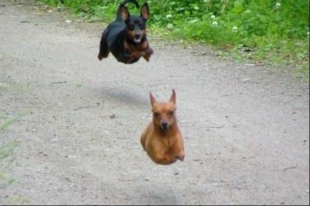 flygande-hund-hundar.jpg