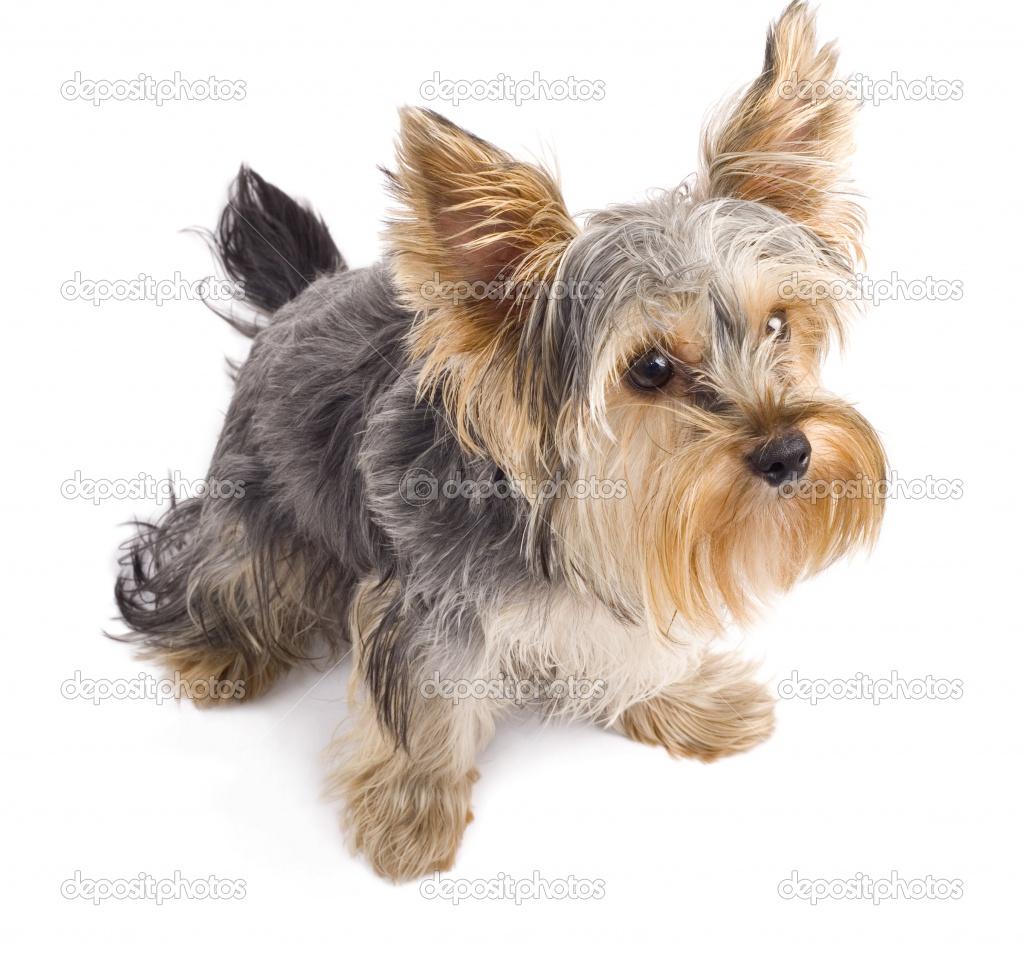 Puppies Cute Yorkie Dogs | Car Interior Design