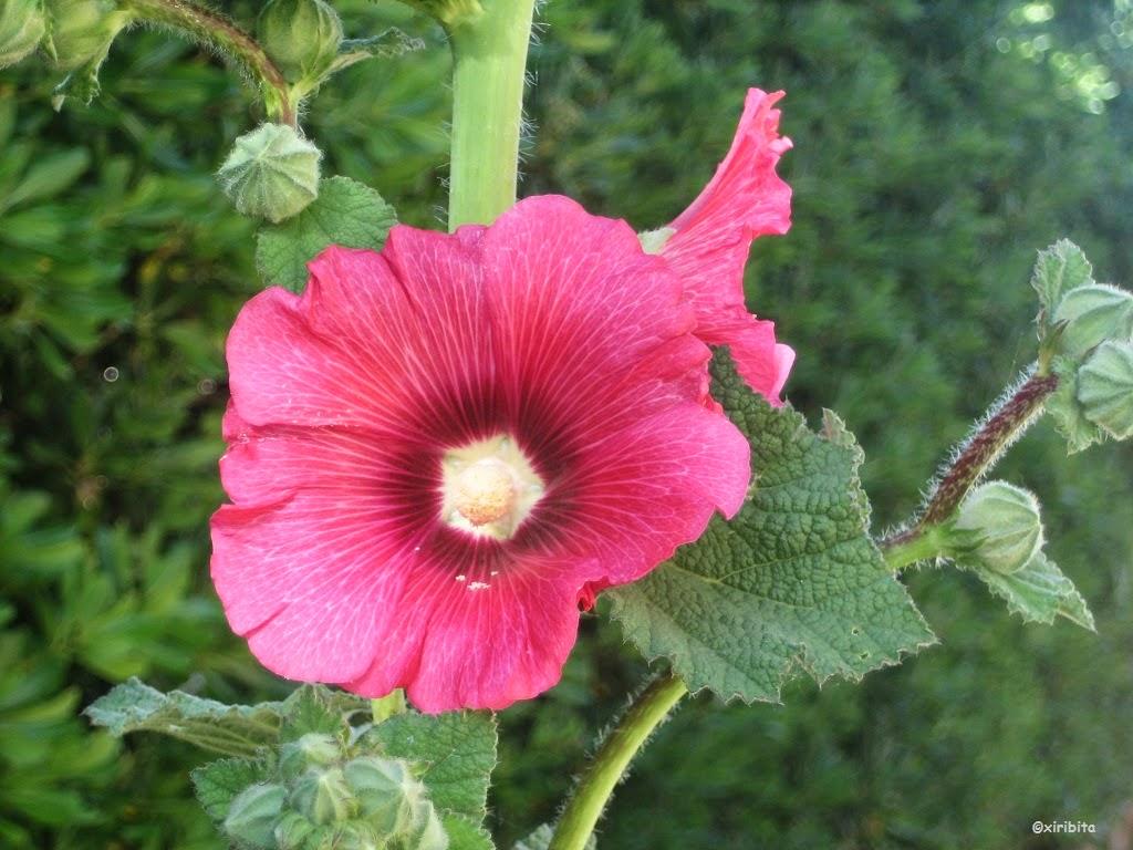 Imagenes guapas con flores y plantas 5 parte p gina 49 for Malvarrosa planta