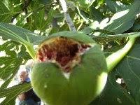 Στη Καλαμάτα μόνο σύκα Εύβοιας και η «Συκική» τους… καλύπτει