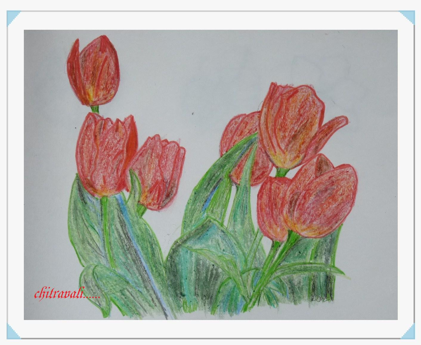 Chitravali: Colour pencil drawing----Tulip spring flower