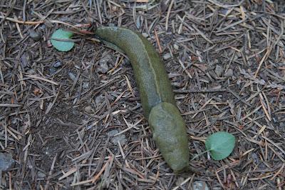 Ariolimax columbianus - Banana Slug