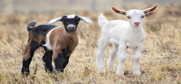 goat-03