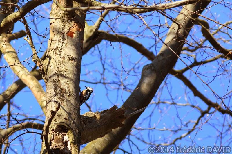 animaux oiseau pic-épeiche nature forêt Fontainebleau Seine-et-Marne