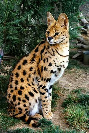Panda Chocochip 7 Cat Rare In The World
