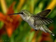 Meu colibri, uma pedaço da natureza na minha casa!