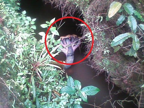 Ada Ular Berkepala 7 di Sulawesi Selatan