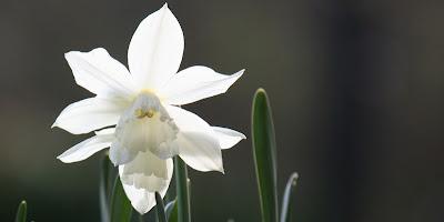narcis thalia