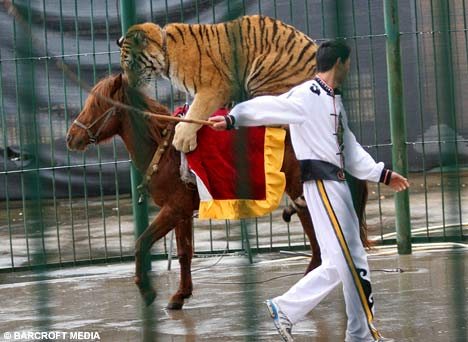 Tiger Horse Pictures Tigers Can't Ride on Horses ri
