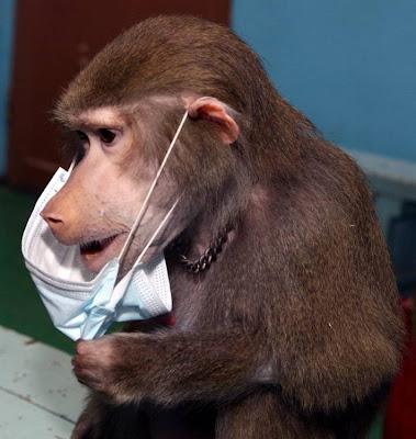 Фото Укринформ: обезьяна в марлевой повязке