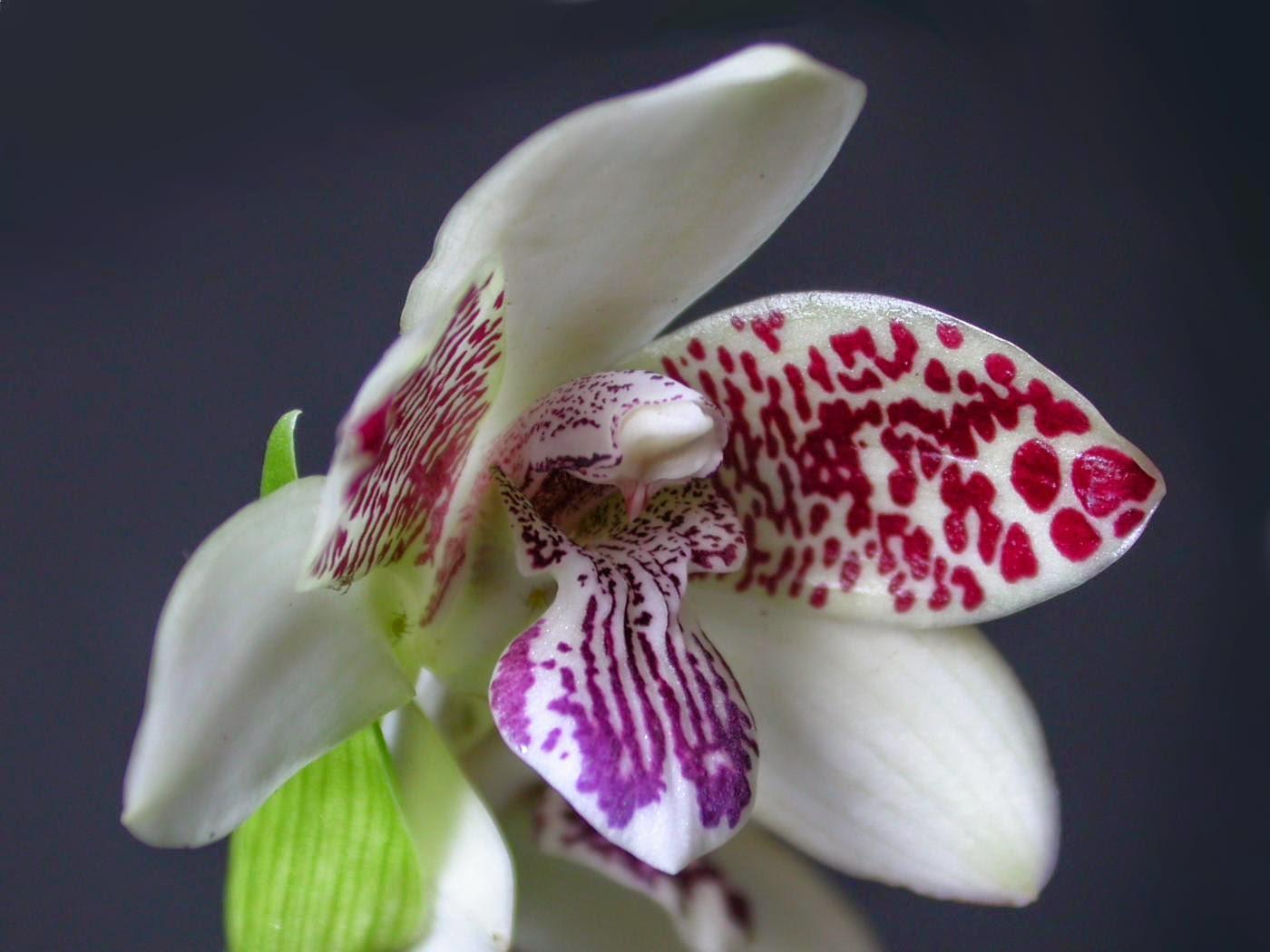 Espécies de orquídeas raras e exóticas no Brasil