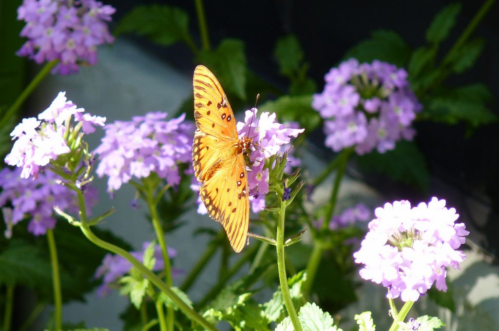 Fall Butterfly Plants For Florida