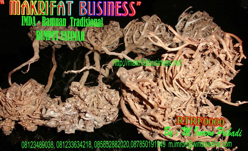 rumput fatimah makrifat business ramuan herbal