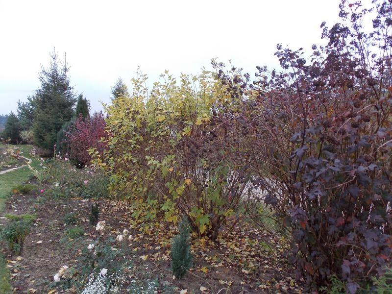 pęcherznice jesienią