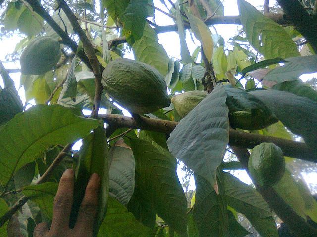 Buah Cokelat Pada Pohonnya