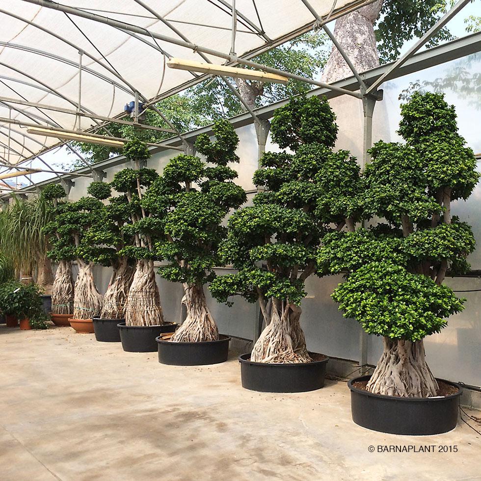 Plantas Barnaplant Ficus Microcarpa Quotginsengquot Bonsai Quotpequeos Y