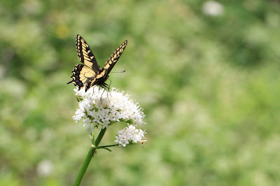 Valerian Snack for a Butterfly