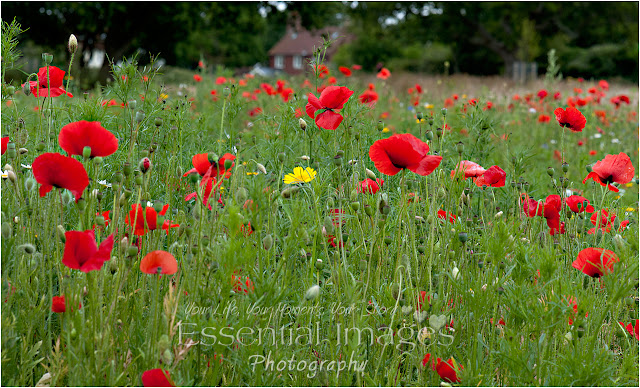 wild poppies in woodside lymington