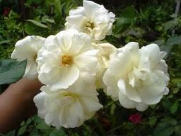 gambar_mawar_putih_cantik