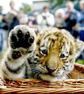 tigre filhote