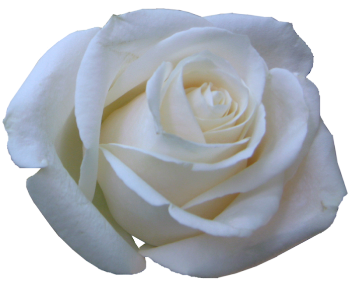Rosas blancas en gif - Imagui