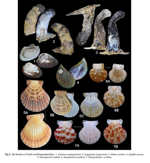 Clams and shells of Turtle and Binunsalian bays- Palawan