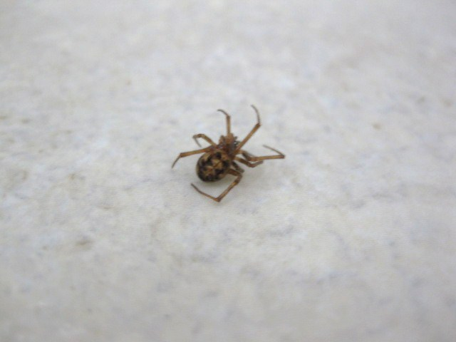 baby brown recluse spiders
