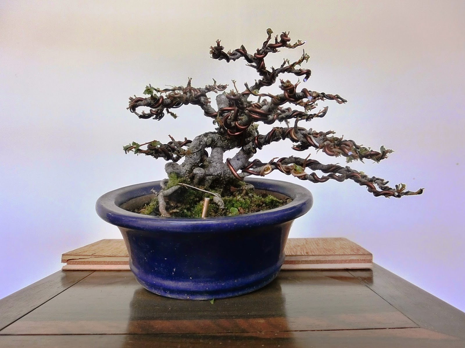 Invitation To Bonsai World Chojubai Japanese Flowering Quince
