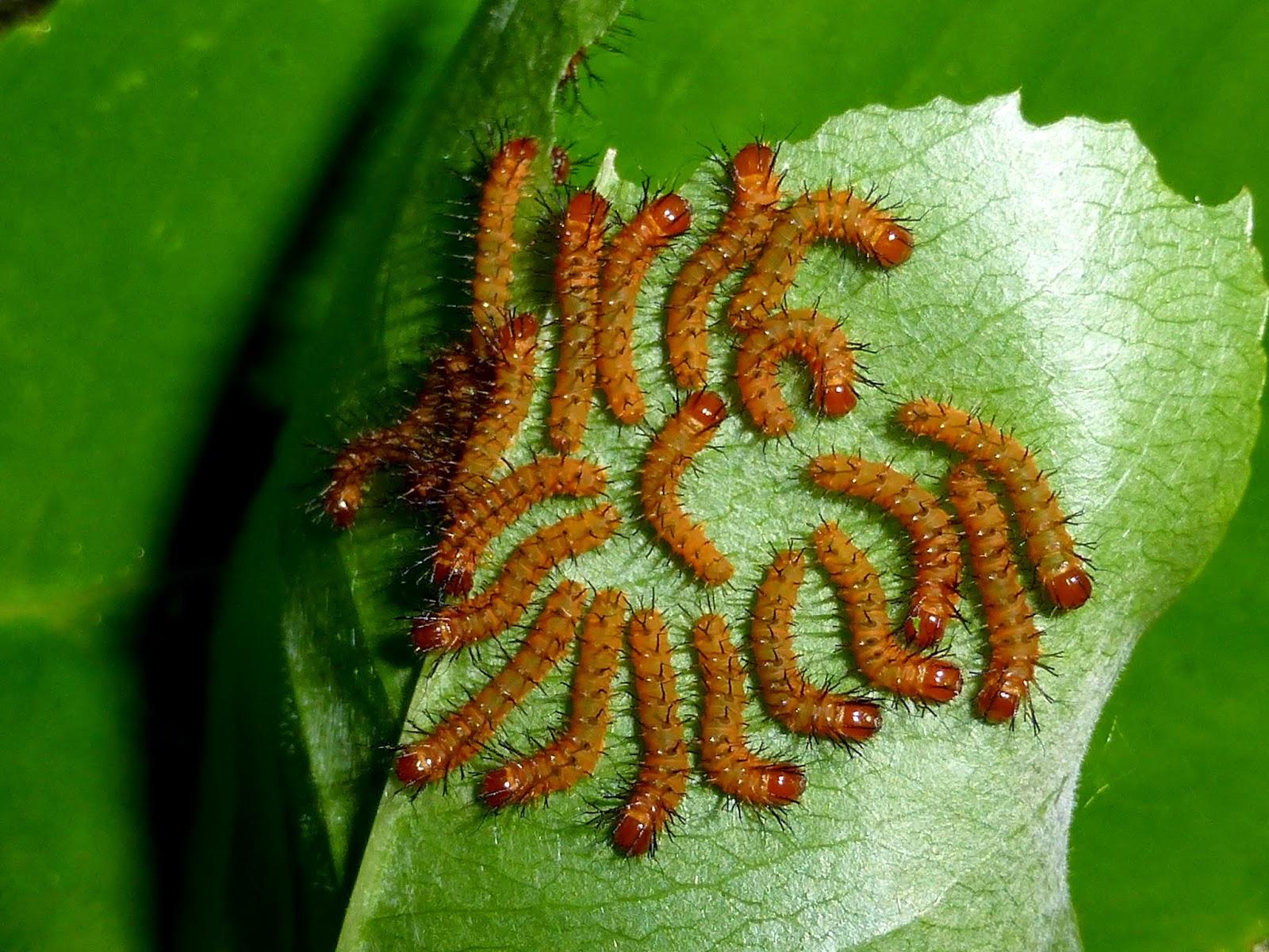Periphoba arcaei L1 caterpillars