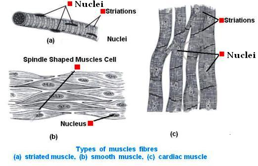 Diagrammatically show the difference between the three types of types of muscles fibres ccuart Image collections