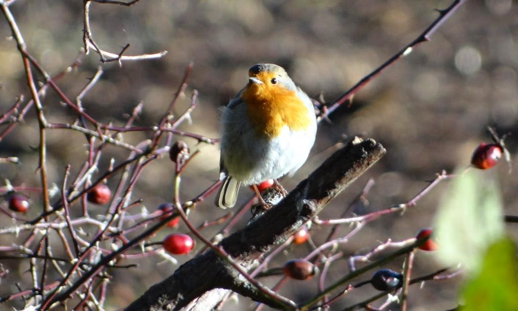 Winter brings my beloved  red robins