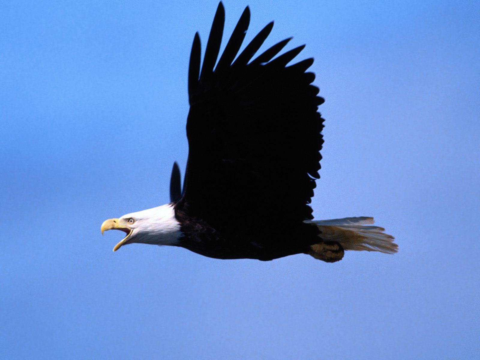 http://4.bp.blogspot.com/-1KLsIZv8ABU/UHihK-zoECI/AAAAAAAAMMM/VjiTXoGgG6Y/s1600/Copia+de+Call+of+the+Wild,+Bald+Eagle.jpg