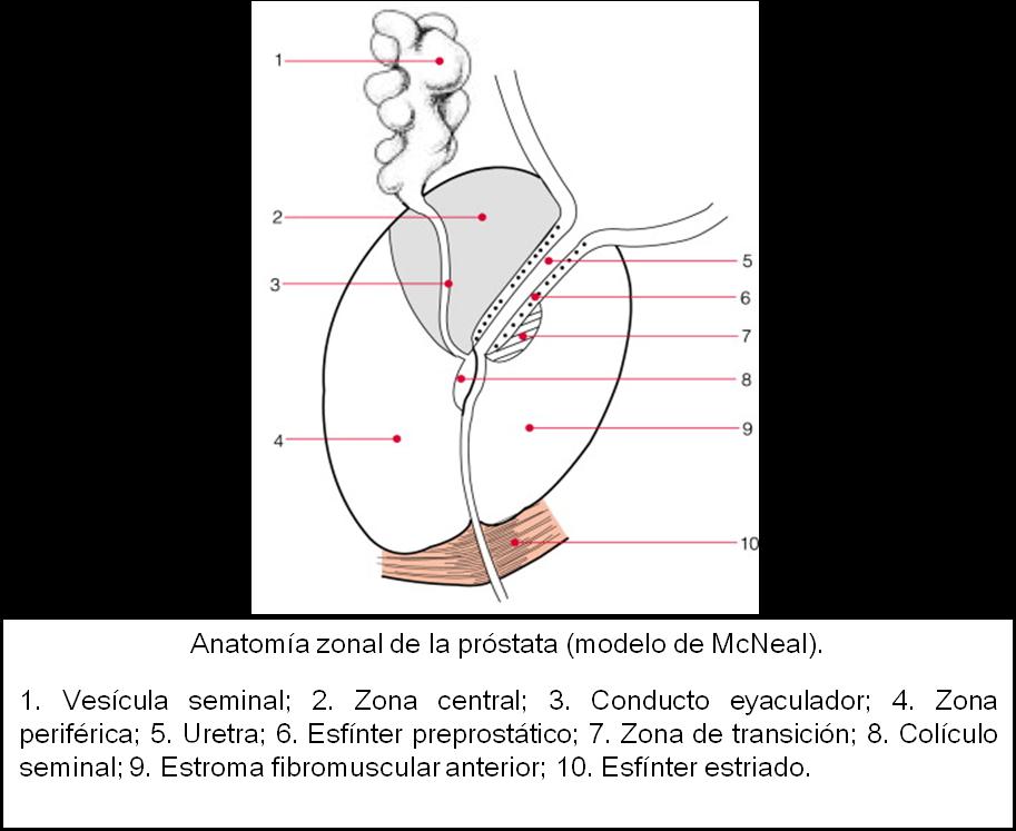 Aplicar Técnicas de Valoración del Metabolismo: Anatomía de la prostata