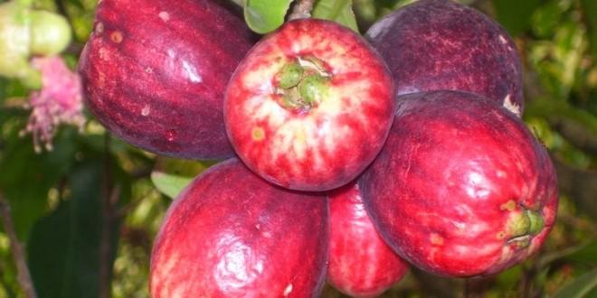 7 Manfaat Jambu Bol yang Belum Anda Ketahui