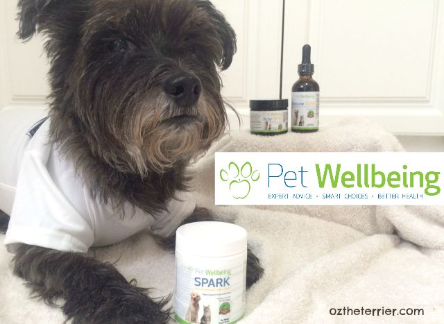 Dr Oz the Terrier takes SPARK nutritional supplement by Pet Wellbeing
