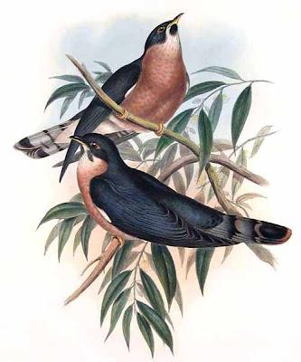cuculiformes Cuco huidizo Hierococcyx fugax
