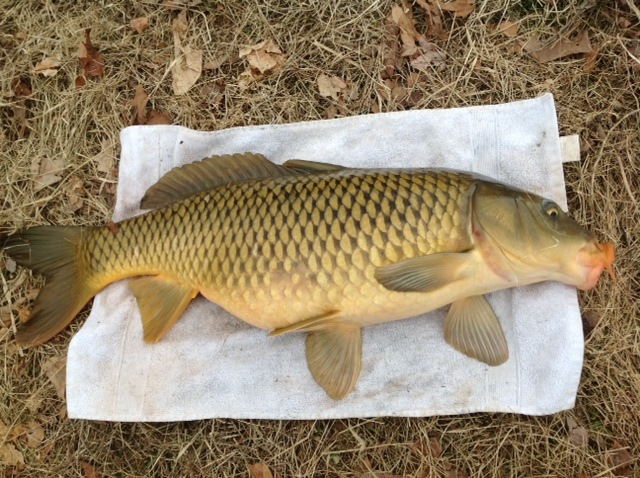Pictures of bottom feeders for Is tilapia a bottom feeder fish
