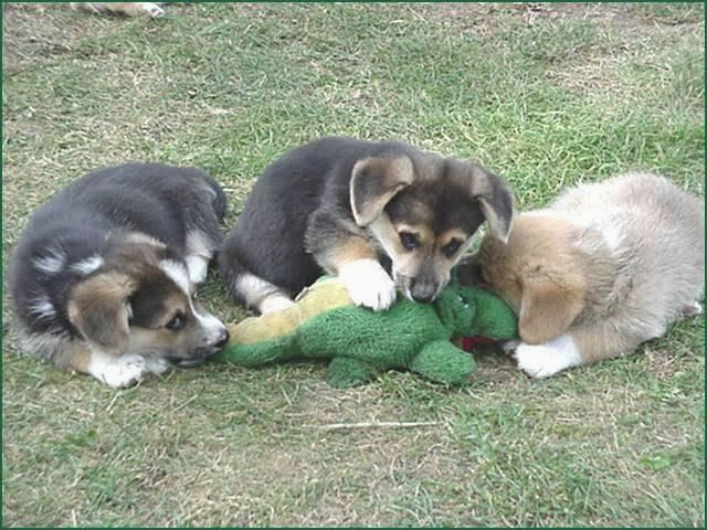 Cute dogs - part 3 (50 pics), three puppies vs stuffed dinosaur