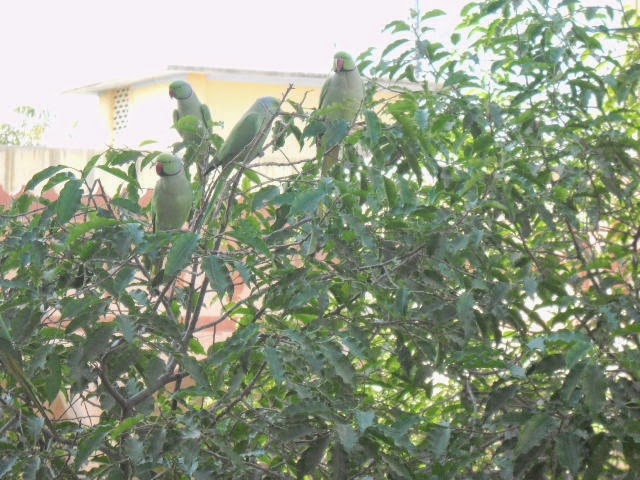 indian parrot on borsali tree