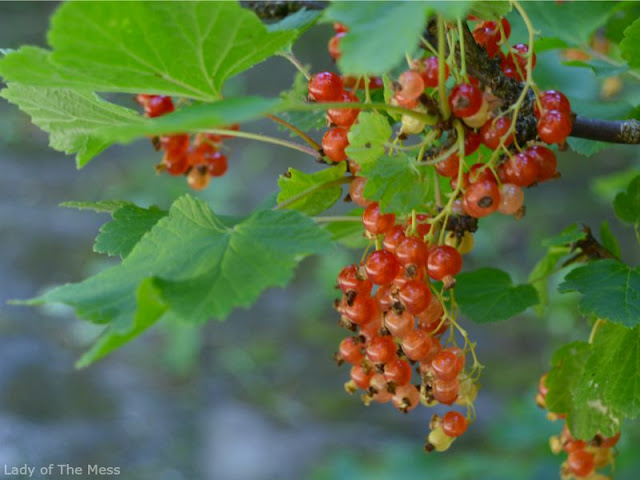 punainen viinimarja, red wineberry