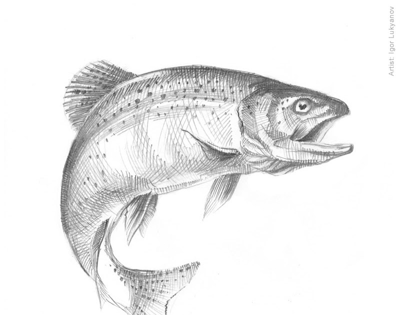 Fish Sketch Trout