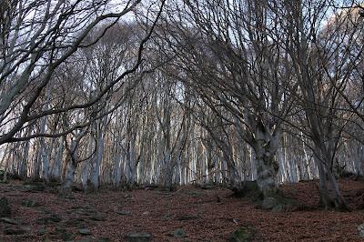 Beech trees, Fagus sylvatica