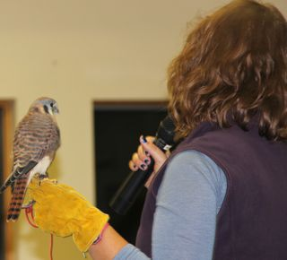 photo of a kestrel (sparrow hawk) perched on handler's glove