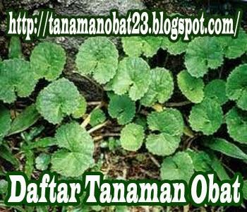 Tanaman Obat Kaki Kuda  (Centella asiatica, (Linn), Urban.)
